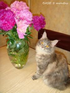 Взрослая кошка Мейн - кун.