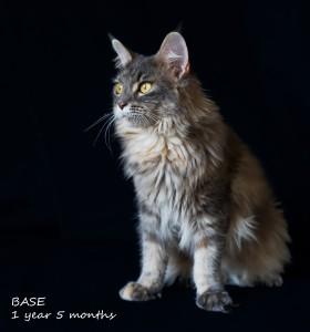 Кошка Мейн - кун.