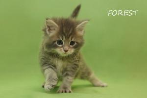 Котенок Мейн - кун.